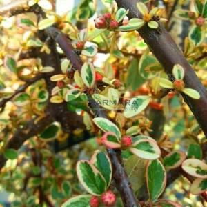 Sarı-yeşil yapraklı kısa tijli baston dağ muşmulası - Cotoneaster dammeri juliette half tige (ROSACEAE)