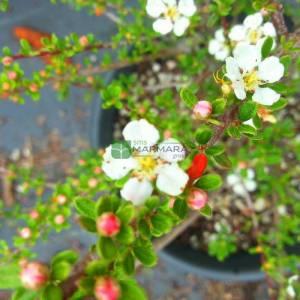 Yaprak dökmeyen beyaz çiçekli kırmızı meyveli dağ muşmulası, tibet dağ muşmulası - Cotoneaster conspicuus decorus (ROSACEAE)