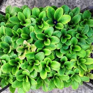 Çuha çiçeği türü, Polyanthus çuha çiçeği - Primula polyantha (PRIMULACEAE)