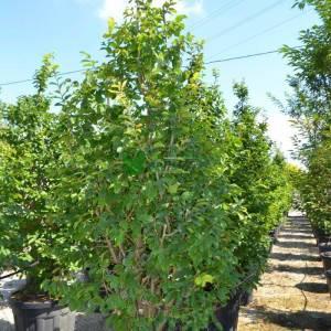 Yalancı kızaran iran demir ağacı, Cadı çalısı - X Sycoparrotia semidecidua (HAMAMELIDACEAE)