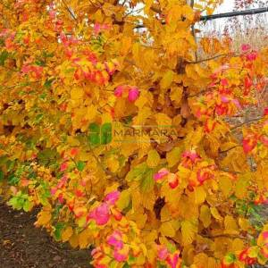 Parrotia, iran demir ağacı, Papağan ağacı, Cadı çalısı - Parrotia persica vanessa (HAMAMELIDACEAE)