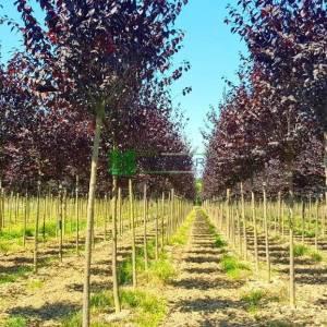 Purple Leaf Plum, Purple Cherry Plum, myrobalan plum tige graft standart