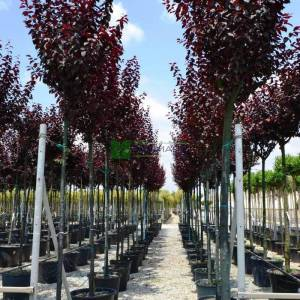 Pembe çiçekli süs eriği çift aşılı ağaç formlu - Prunus cerasifera pissardii nigra nigra tige (ROSACEAE)