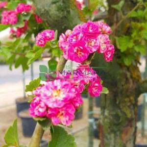 Pembe çiçekli süs alıç - Crataegus laevigata paul's scarlet (ROSACEAE)