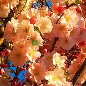 Japon çiçekli süs kirazı - Prunus serrulata shirofugen (ROSACEAE)