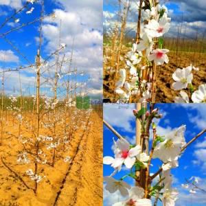 Kış kirazı, Top formlu aşılı pembe, beyaz, çiçekli süs kirazı - Prunus x subhirtella autumnalis rosea (ROSACEAE)