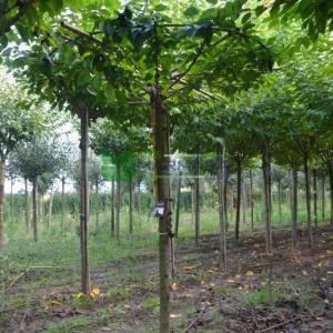 Pembe çiçekli kanzan süs kirazı şemsiye formlu - Prunus serrulata kanzan umbrella/tetto shaped (ROSACEAE)