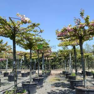 Flowering Cherry, Sheraton Cherry, Kwanzan Cherry, Kanzan Cherry Kanzan umbrella/tetto