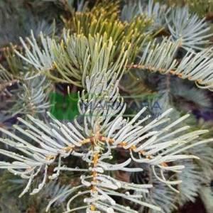 Gümüşi yapraklı göknar, Kolorado göknarı, Beyaz göknar, Mavi göknar, - Abies concolor (PINACEAE)