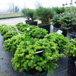 Yeşil yapraklı bodur göknar - Abies koreana brilliant (PINACEAE)