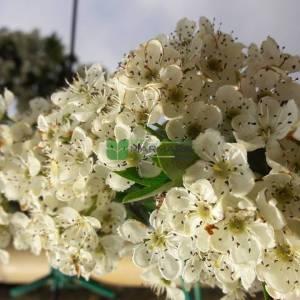 Beyaz çiçekli süs alıç - Crataegus lavallei carrierei (ROSACEAE)