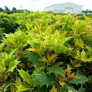 Osmanthus güzel kokulu alaca yapraklı, osmantus - Osmanthus heterophyllus goshiki (OLEACEAE)
