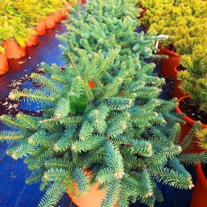Bodur mavi ispanyol göknar - Abies pinsapo glauca (PINACEAE)