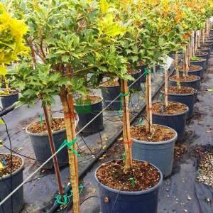 Osmanthus güzel kokulu alaca yapraklı, osmantus kısa tijli, baston formlu - Osmanthus heterophyllus goshiki half tige (OLEACEAE)