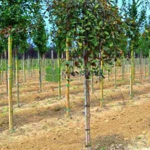 Pembe çiçekli ters aşılı süs elması, Sarkık formlu, ağalayan kraliyet güzelliği - Malus royal beauty (ROSACEAE)