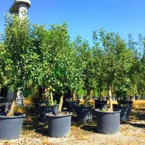 Meyve elma - Malus x domestica (ROSACEAE)