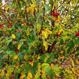 Japon süs elması, Çiçek elması, yengeç elması alttan dallı çalı formlu - Malus evereste multi stem (ROSACEAE)