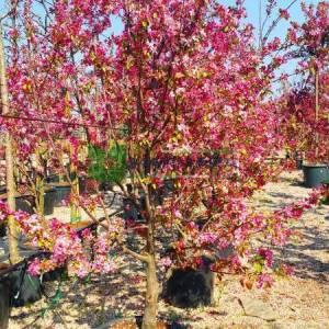 Japon süs elması, Çiçek elması,Japon çiçekli yengeç, Japon yengeç - Malus floribunda multi stem(ROSACEAE)