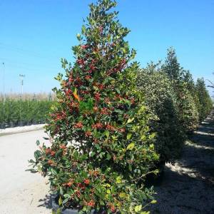Çoban püskülü pırnal yapraklı konik formlu - Ilex nellie R. stevens cone (AQUIFOLIACEAE)