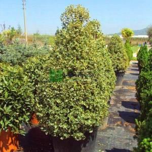 Çoban püskülü sarı-yeşil yapraklı konik formlu - Ilex aquifolium aurea marginata cone (AQUIFOLIACEAE)