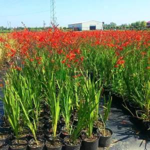 Crocosmia çiçeği - Crocosmia lucifer (IRIDACEAE)
