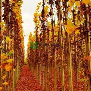 Amerikan lalesi sütun formlu yapraklı, Çan ağacı, Titrek kavak, Sarı kavak - Liriodendron tulipifera fastigiata (MAGNOLIACEAE)