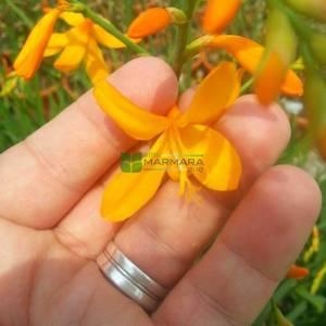 Crocosmia çiçeği sarı çiçekli - Crocosmia crocosmiiflora buttercup (IRIDACEAE)