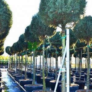 Aşılı mavi servi yüksek tijli top formlu - Cupressus arizonica glauca high tige ball250cm (CUPRESSACEAE)