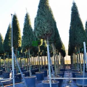 Aşılı mavi servi yüksek tijli konik formlu - Cupressus arizonica glauca high tige cone:250cm (CUPRESSACEAE)