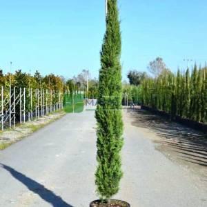 Akdeniz mezarlık servisi, Selvi, Servi - Cupressus sempervirens (CUPRESSACEAE)