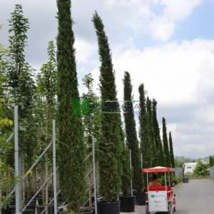 Italian Cypress, Funeral Cypress, Mediterranean Cypress