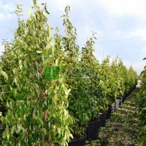 Beyaz çiçekli herdem yeşil yağlı parlak kartopu piramit/konik formlu - Viburnum lucidum pyramidalis/cone (CAPRIFOLIACEAE)