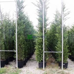 Yeşil leylandi, Melez servi - Cupressocyparis leylandii (CUPRESSACEAE)