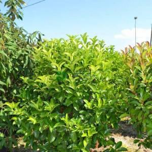 Beyaz çiçekli herdem yeşil yağlı parlak kartopu top formlu - Viburnum lucidum ball (CAPRIFOLIACEAE)