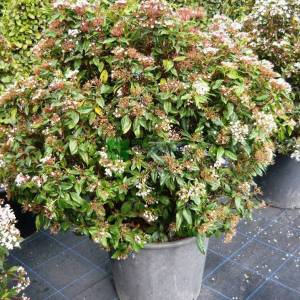 Defne yapraklı beyaz çiçekli herdaim yeşil kartopu,Kış kartopu top formlu - Viburnum tinus ball (CAPRIFOLIACEAE)