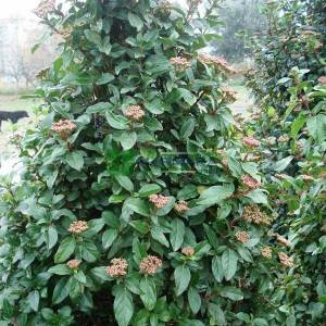Defne yapraklı beyaz çiçekli herdaim yeşil kartopu,Kış kartopu piramit/konik formlu - Viburnum tinus pyramid/cone (CAPRIFOLIACEAE)