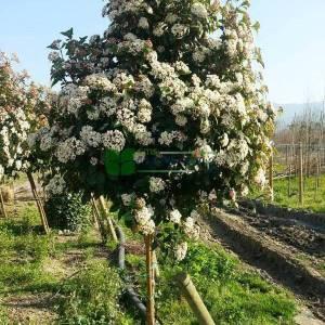 Defne yapraklı beyaz çiçekli herdaim yeşil kartopu,Kış kartopu, kısa tijli, baston formlu - Viburnum tinus half tige (CAPRIFOLIACEAE)