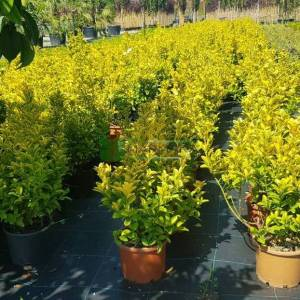 Altuni top formlu taflan, Gold taflan, Sarı yeşil taflan - Euonymus japonicus aureo marginatus ball (CELASTRACEAE)