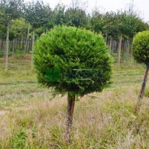 Leyland Cypress one ball half tige