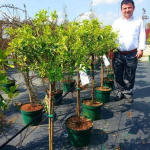tijli, sarı-yeşil yapraklı, alacalı, baston sürünücü, sarılıcı, sarmaşık taflan - Euonymus fortunei sunspot half tige:130cm (CELASTRACEAE)