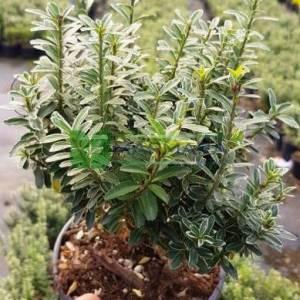 Gümüşi sarı çıtır, minyatür taflan - Euonymus japonicus microphyllus variegatus (CELASTRACEAE)