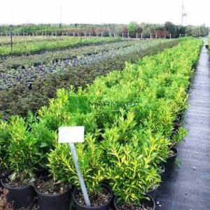 alacalı taflan, sarı yeşil yapraklı taflan - Euonymus japonicus aureopictus (CELASTRACEAE)