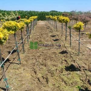 Altuni baston, kısa tijli taflan, Gold taflan, Sarı yeşil taflan - Euonymus japonicus aureo marginatus half tige:130cm (CELASTRACEAE)