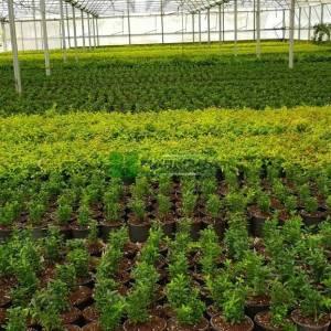 Yeşil çıtır minyatür taflan - Euonymus japonicus microphyllus (CELASTRACEAE)