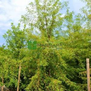 silver maple, creek maple, silver leaf maple, soft maple, large maple, water maple, swamp maple wier