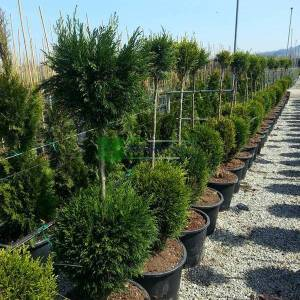 Leyland Cypress two balls tige