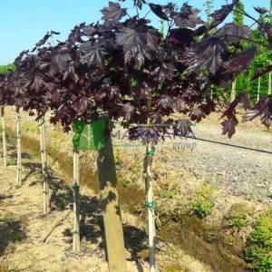 Kırmızı çınar yapraklı akçaağaç kısa tijli, baston formlu - Acer platanoides crimson king half tige (ACERACEA)