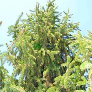 Sarkık aşılı avrupa ladini - Picea abies inversa pendula (PINACEAE)