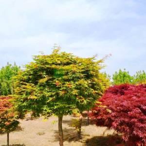 Osakazuki japon akçaağacı ağaç formlu - Acer palmatum green osakazuki alto fusto (ACERACEA)
