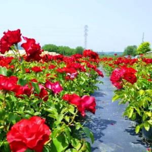 Hibrit peyzaj kokulu aşılı dikensiz dikenli yediveren gül - Rosa peyzaj (ROSACEAE)